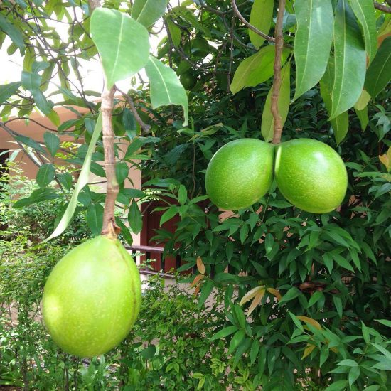 I thought they must be fat mangoes. Then I was researching, I found out they were actually young pomelos! Hehe I saw the pomelo tree for the first time of my life.😆😂😝I now have an idea of growing fruits and vegetables at home. I wanna start it soon. It would be nice if I can grow 🥑🥑🥑🥑🥑🥑🥑🥑🥑at home since they are expensive. #curious #pomelotree #fatfruit #fruit #islandfruit #islandlife #island #samui #thaifruit #pomelo 🍈🍐🍈🍐🍈🍐🍈