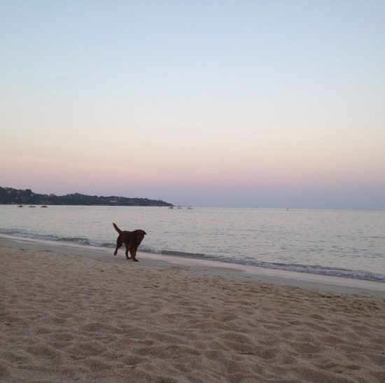 Good evening from Lamai beach. I love the sky colors. It is such a nice background, good for eyes. The doggie (beach dog) was running out from the water. He looked so happy. We tend to be happy when we are by the beach and animals are happy as well. 🌴😘😍 🐶 🌊